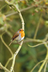 Robin-in-tree