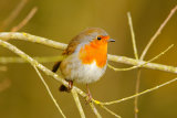 Robin-on-branch