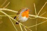 Robin-on-branch