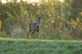 Roe Deer in Autumn