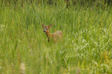 Roe-Deer-in-Field