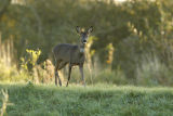 Roe Deer in morning light