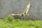 Short eared-owl-hunting