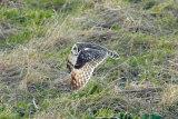 Short-eared-owl-in-flight