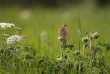 Skylark in field