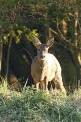 Staring-Roe-deer