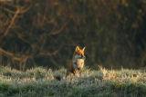Sunlit Fox