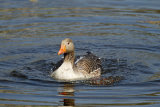 Sunlit-Greylag-goose