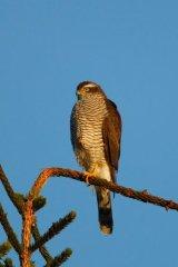 Sunlit-Sparrowhawk