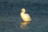 Sunlit-Swan