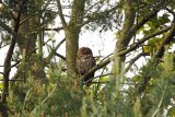 Tawny-owl-in-trees