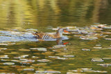 Water-Rail-swimming