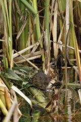 Water Vole in reeds
