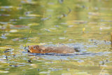 Water-Vole-swimming