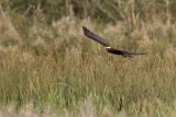 Young Marsh Harrier hunting