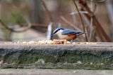 Nuthatch feeding