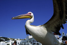 A Pelican at Mykonos Harbour