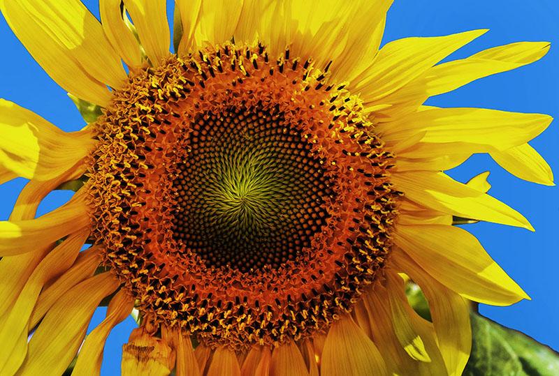Sunflower, (Helianthus)