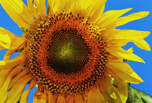 Sunflower, (Helianthus)