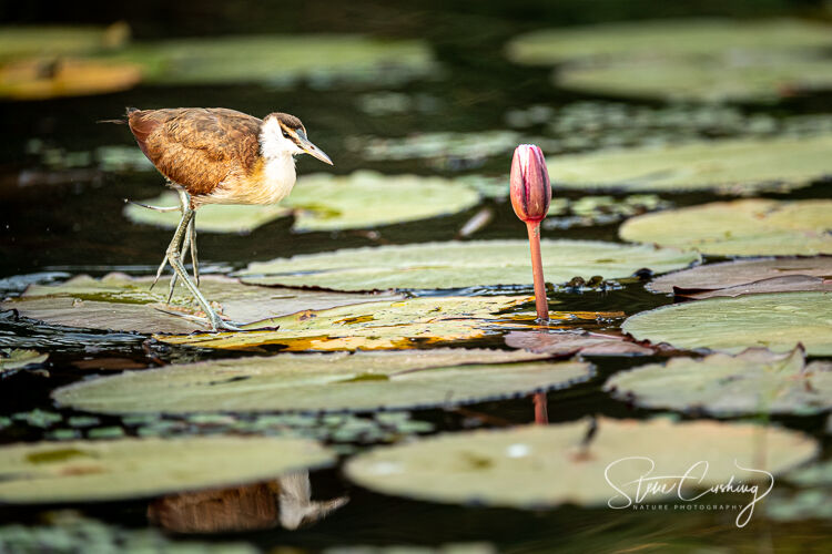 African Jacana walking across lily pads