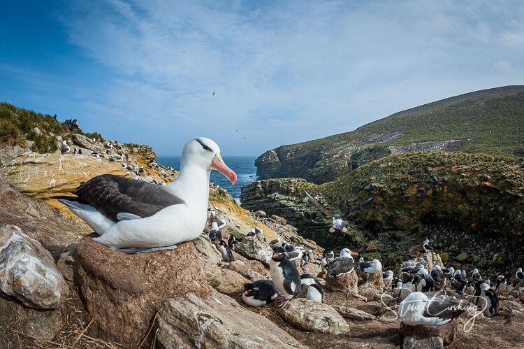 Black browed albatross on nest