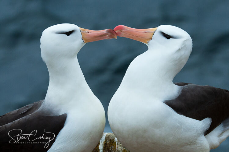 A pair of black browed albatross