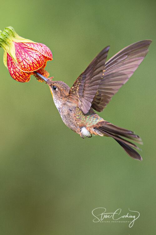 Bronzy Inca hummingbird