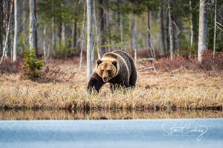Brown bear approaching water