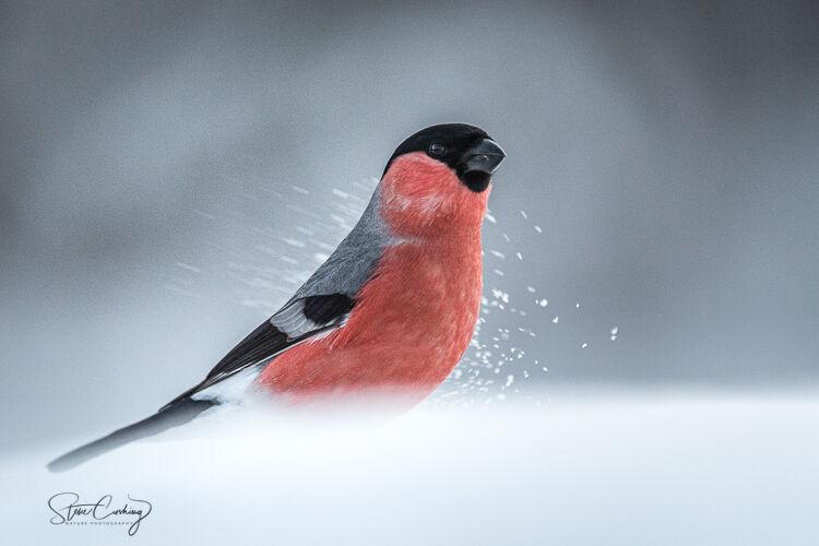 A male Bullfinch in the snow