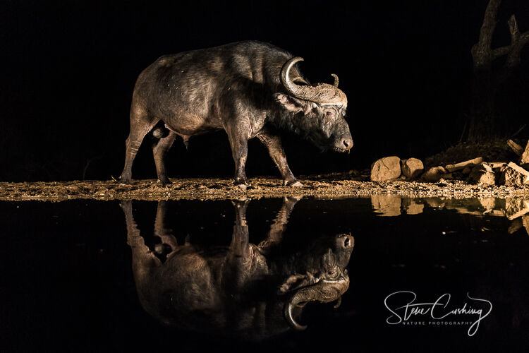 Cape buffalo reflection at night