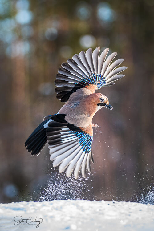 European Jay in flight in the snow
