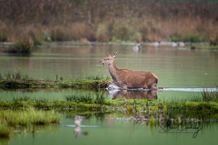 Female red deer in water