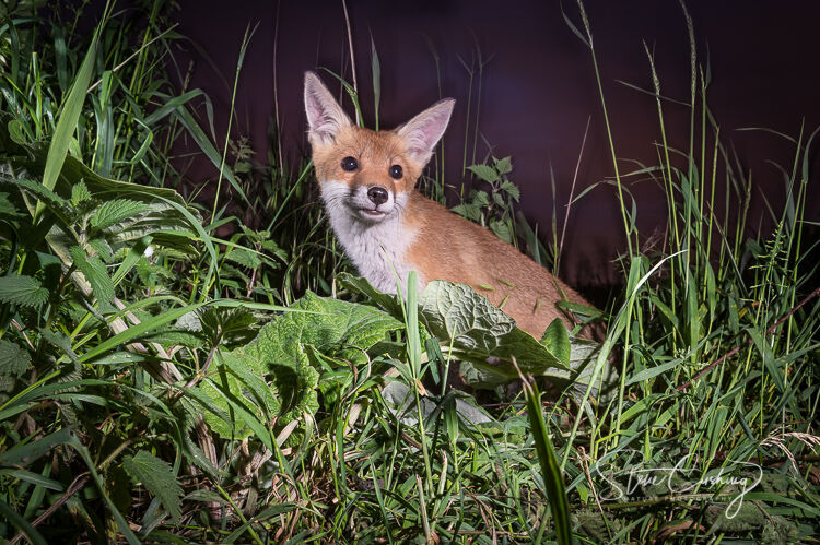 A fox cub during the night