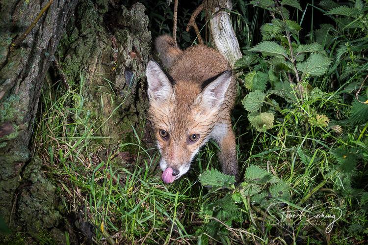 Fox cub licking lips