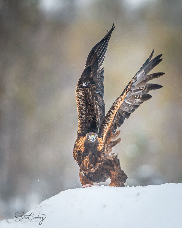 Golden Eagle in the snow