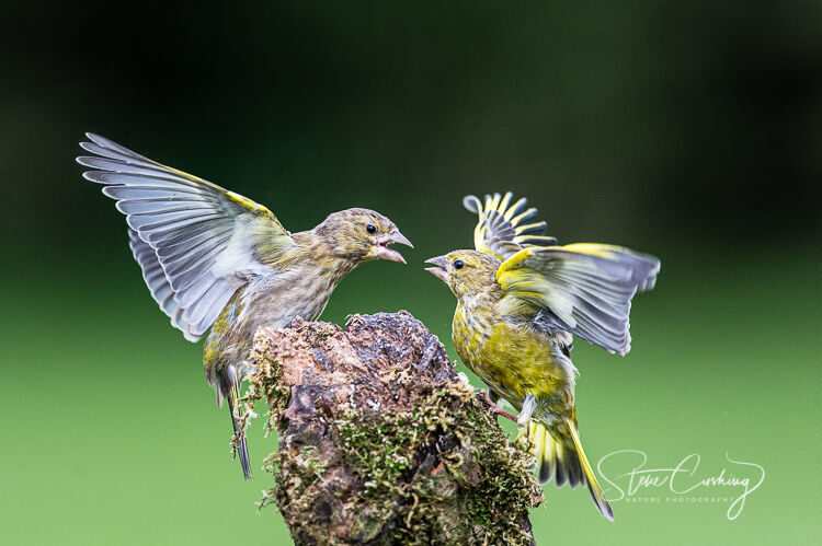 Two greenfinches displaying aggressive behaviour