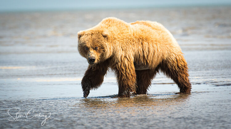 Grizzly bear strolling down the beach