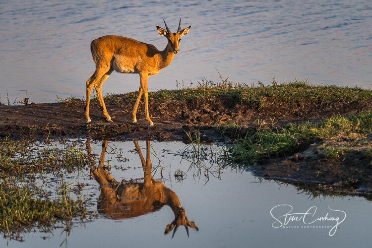 Impala reflection