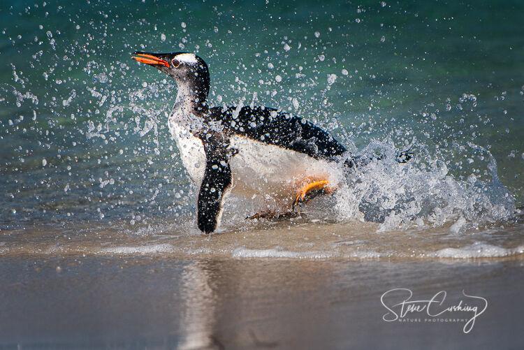 King Penguin surfing