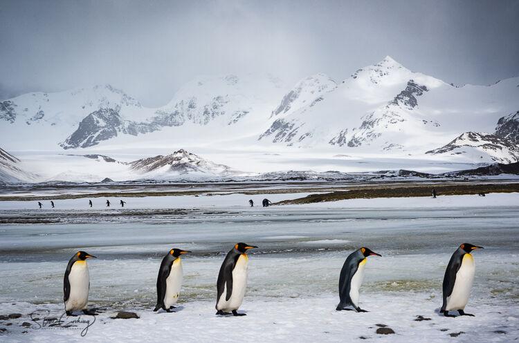 King Penguins walking in line