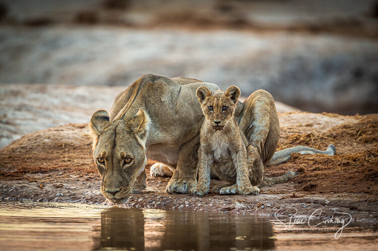 Lioness and cub at water hole