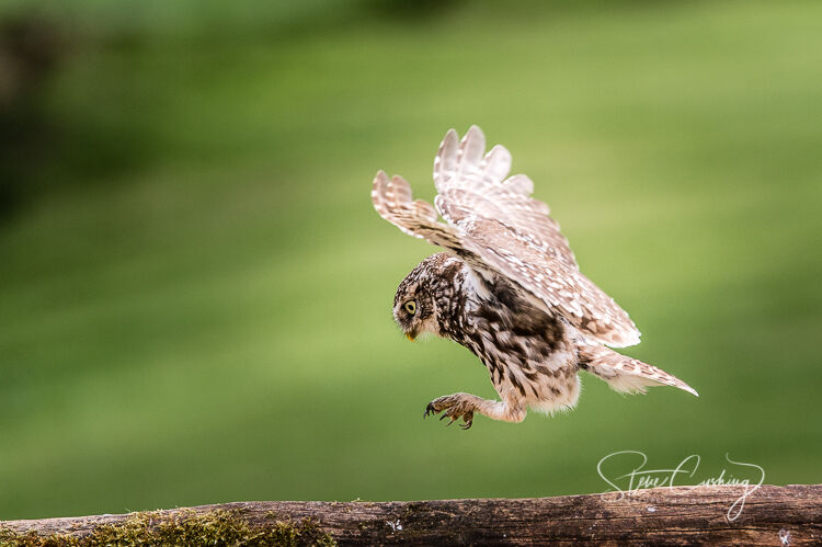 Little owl pouncing
