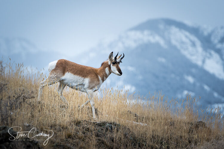 A pronghorn in the mountains