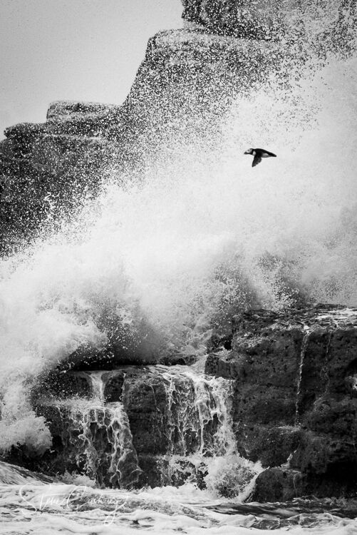 Puffin flying in a storm