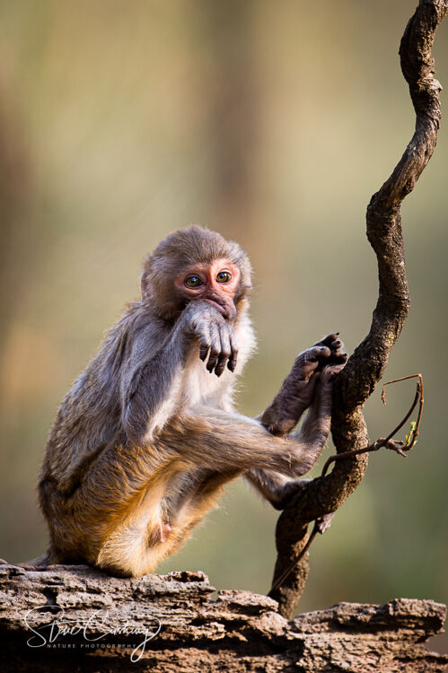 A juvenile red-faced monkey