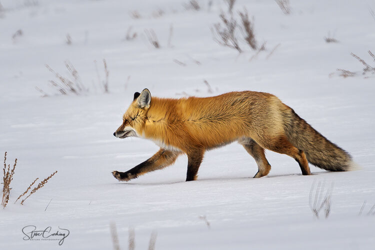 Red fox in snow in Yellowstone National Park