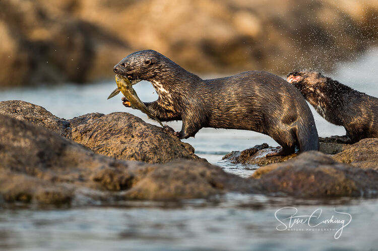 Spotted neck otter with Leopard squeaker
