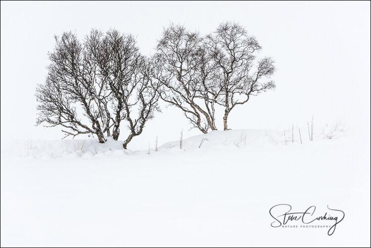 Isolated trees in snow, Lofoten