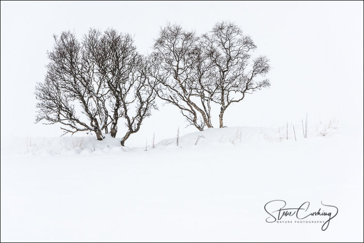 Isolated trees in the snow