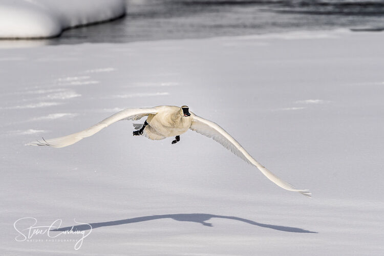 A trumpeter swan in flight